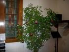 The ficus tree in the back also decorated for Christmas.